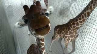 Mètres 5,80 - Giraffen Turmspringer - giraffes doing diving