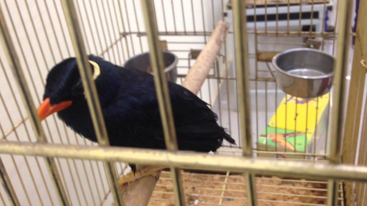 скачать видео про птицу священная майна