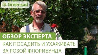 видео Посадка роз весной и ее особенности