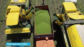 На Кубани уже убирают овощной горошек