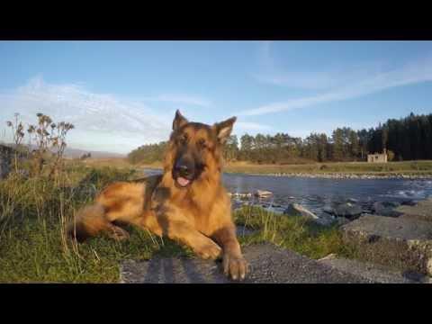 Kadi German Shepherd - 4K  - 30.10.2015