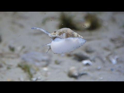 Buccinum undatum / Wellhornschnecke / Common Whelk