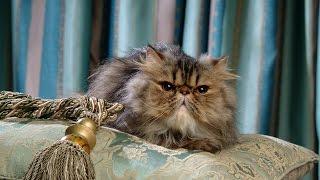 Уход и Содержание Персидской кошки, Породы кошек