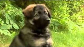 Dogs 101 German Shepherd