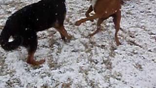 Boxer Vs German Shepherd