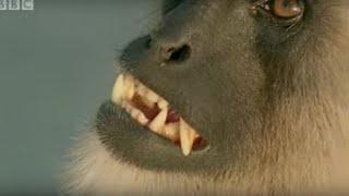 Monkey leader battle - Monkey Warriors - BBC animals