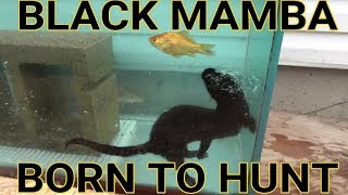 Diving For Aquarium Fish | Episode 7- Black Mamba: Born to Hunt