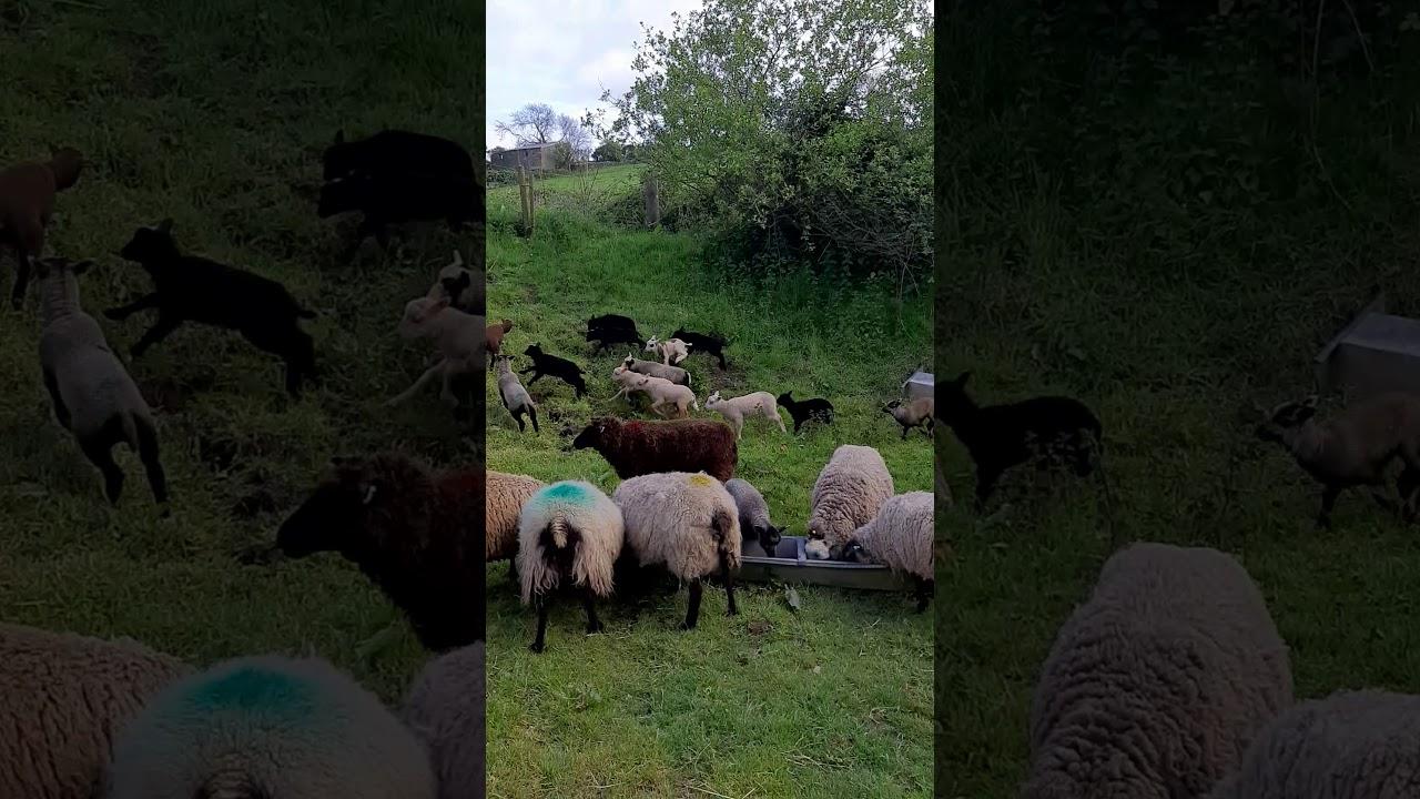 Pin on sheep