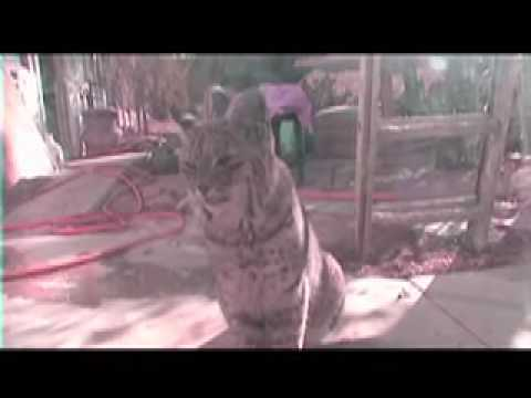 Bobcats at my Door