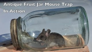 Antique Fruit Jar Mouse Trap In Action. Mouse Trap Mondays