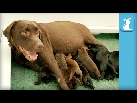 One Week Old Chocolate Labrador Puppies Wiggle Like Worms!  Puppy Love