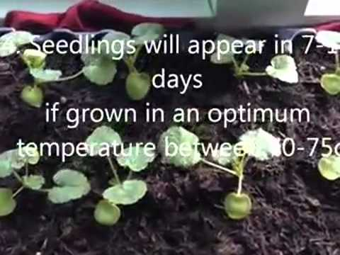 How Much Are Dahlia Flowers For Weddings  - SMS:089611410430 - BenihBunga.com - Grosir & Eceran