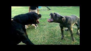 ロットワイラーは、中型から大型または大型と見なされている家庭犬の品...