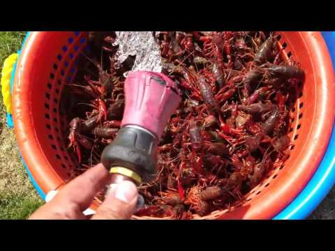 How to wash Crawfish. No Salt, No Mess! Simple and easy.