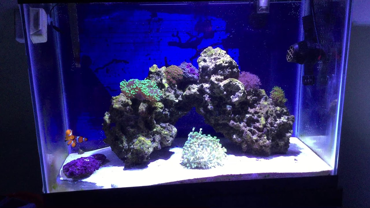 Forest Fire Digi Montipora  frag free shipping at $150 zoas LPS SPS polyps palys