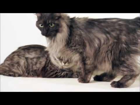 Cats 101 Animal Planet - Kurilian Bobtail ** High Quality **