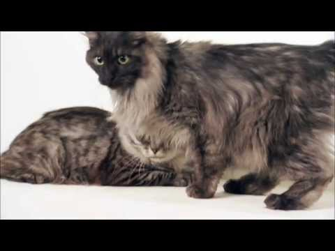 Cats 101 Animal Planet - Kurilian Bobtail ** High Quality **