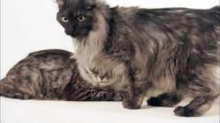 Cats 101 Animal Planet  Kurilian Bobtail ** High Quality **