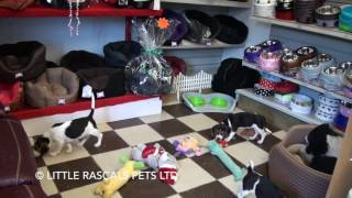 Little Rascals Uk Breeders New Litter Of Beagle Boys And Girls - Puppies For Sale UK