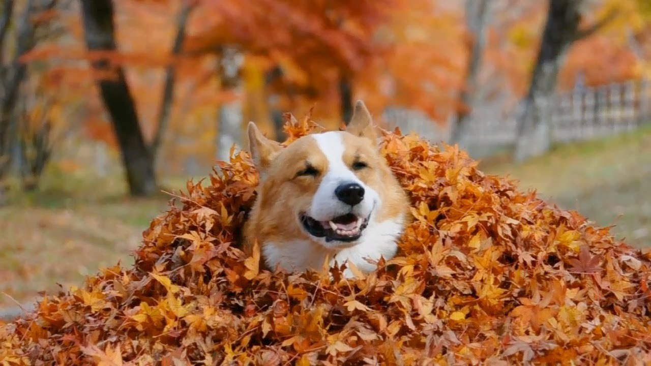Puppies In Fall Wallpaper Goro In Colored Leaves コーギーを紅葉に埋めてみた 20121113 Goro Welsh