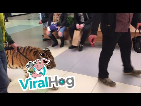 Thumbnail: Tiger Walks on a Leash Through a Shopping Center