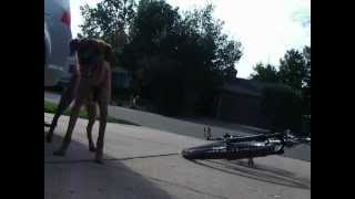 Border Terrier Mix Barking At Bicycle In The Driveway