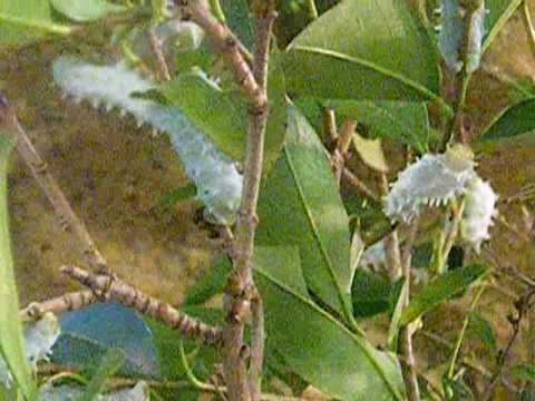 Samia cynthia (Drury, 1773) - (Philosamia ricini) - Bombyx de l