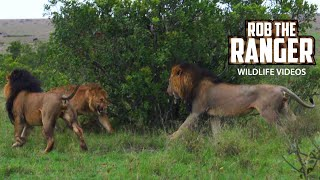 Male Lions Chase Their Sons | Fig Tree Lion Pride | Lions Of The Mara