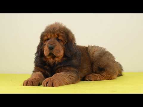 Tibetan Mastiff Puppies Elson Asantiko