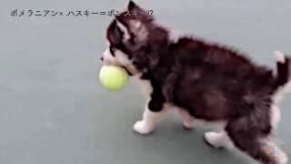 ポメラニアン×シベリアンハスキー=神の児犬誕生。 -------------------...