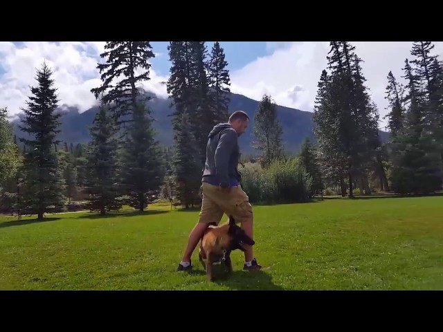 Dancing with Malinois - Shield K9