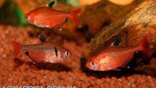 Минор - неприхотливые маленькие аквариумные рыбки купить(Купить прямо сейчас рыбку для аквариума Минор на сайте http://aquazona.com.ua/cat/akvariumnai_riba/ribka/index.html по самым горячим..., 2014-02-10T18:10:34.000Z)