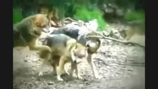 Wolf Mating Hard , Animal Mating Hard