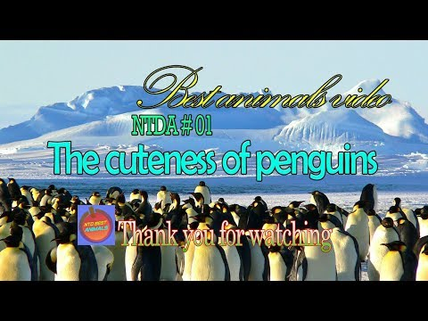 The cuteness of penguins - NTDA 01 from YouTube · Duration:  1 hour 9 minutes 5 seconds
