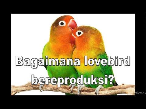 Lucu ... Lovebird Kawin Hingga Pingsan Kelenger Mp3