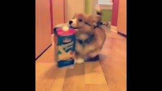 【4秒動画】大きな牛乳パックを運ぶコーギーの可愛い瞬間を見逃すな!