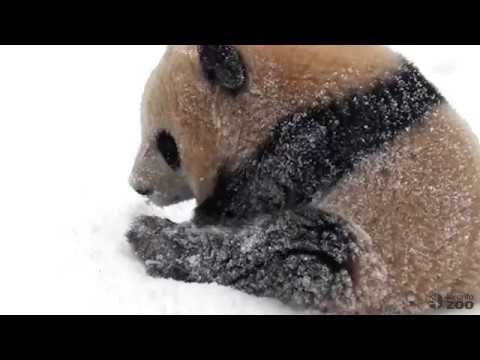5 Years, 5 Videos - Giant Panda Best Snow Moments