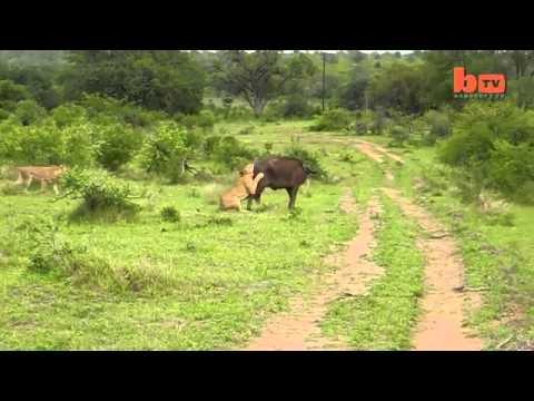 Trâu rừng húc sư tử để cứu đồng loại hay nhất