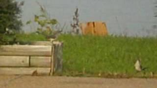 Northern Mockingbird Hop
