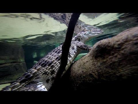 Flippinske krokodiller