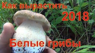 как вырастить белые грибы на своем участке рецепт