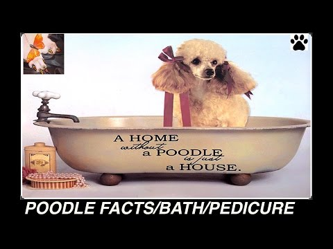 TOY POODLE GROOM BATH PEDICURE SERIES - DIY Dog info by Cooking For Dogs