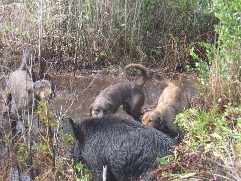 Hunting Hogs With Dogs In South Louisiana