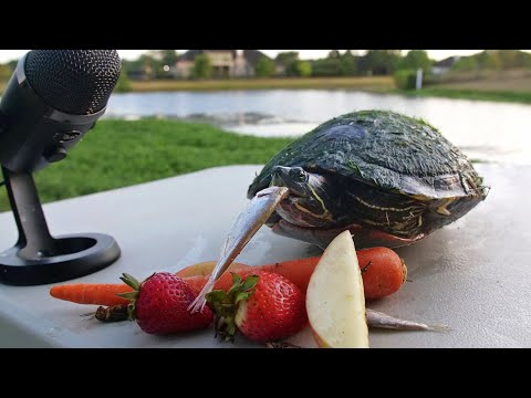 The Woody Show - Listen to These Turtles Eat Food