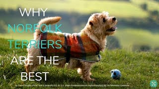 Why Norfolk Terriers Are The Best!