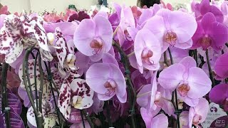 Phalaenopsis cascata é enganação