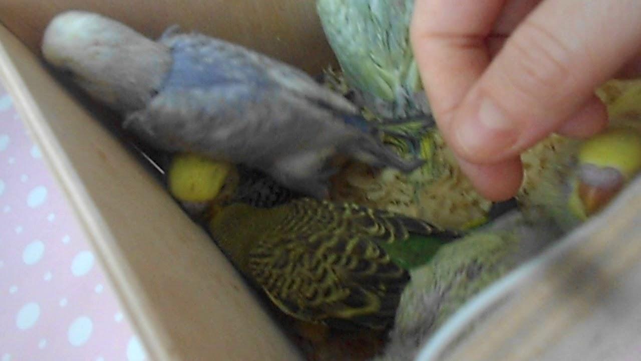 Объявление раздела животные. Птенцы волнистых попугаев ручные купить, продать или отдать в москве на avito.