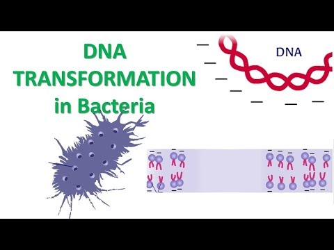 DNA Transformation | Calcium Chloride Method Of Transformation