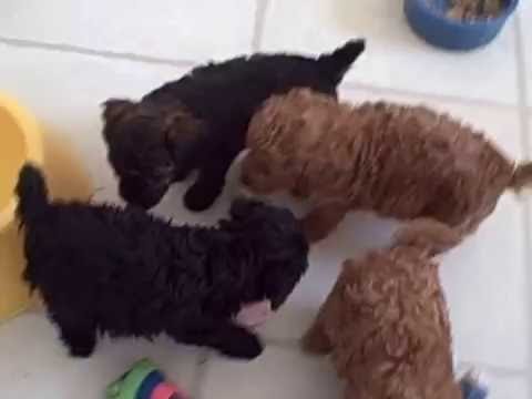 Poodle Puppies Youtube