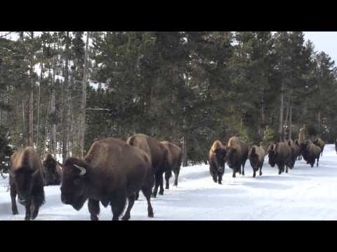 Bison Parade, Yellowstone National Park March 8,2014